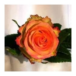 Rose orange BICOLOR