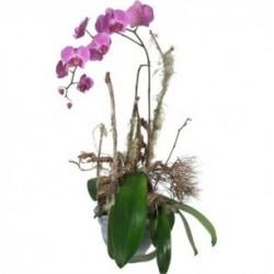 Une précieuse orchidée (en...