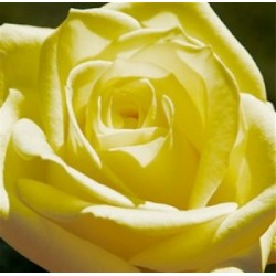 "Carte ""Rose majestueuse"""
